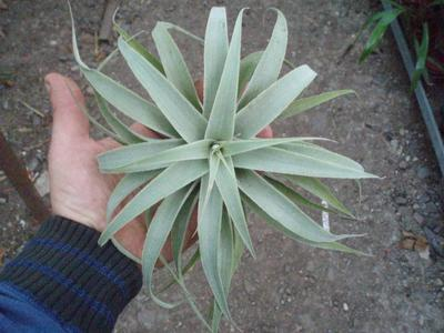 Tillandsia cacticola f. zelené široké listy - 1