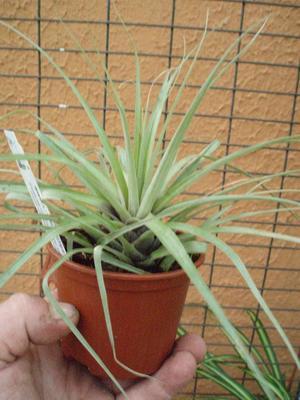 Vriesea appenii - 1