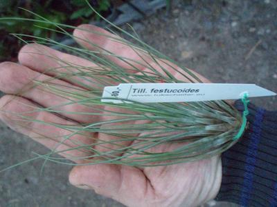 Tillandsia festucoides (menší)