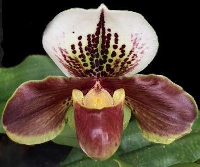 Paphiopedilum  Winston Churchill 'Indomitable' x Doll's Kobold - 1