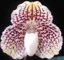 Paphiopedilum leucochilum - 1/2