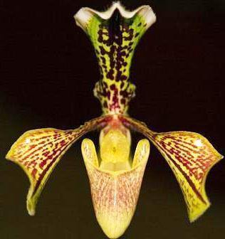 Paphiopedilum villosum 'Dotted sepals' - 1