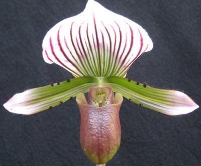 Paphiopedilum lawrenceae - 1