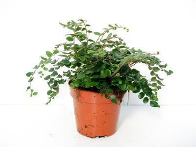 Pellaea rotundifolia (kapradina)