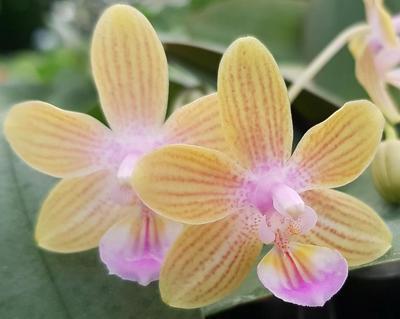 Phalaenopsis venosa 'Chestnut' x Phal. lindenii