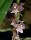 Rhipidoglossum rutilum - 1/3