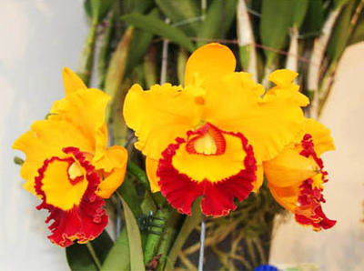 Blc. Village Chief Triumph 'Jin Taiping' - 1