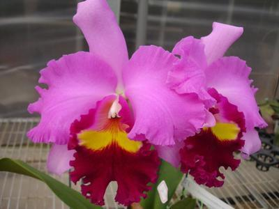 Blc. (Taichung Beauty x Pamela Finney) 'Orchis' - 1