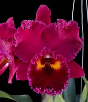 Blc. Chialin Ruby 'Rose Lady' - 1