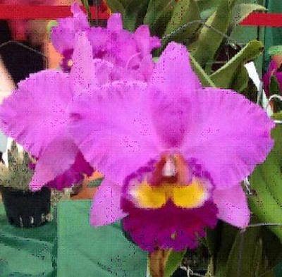 Blc. Taichang Beauty 'ORCHIS' - 1