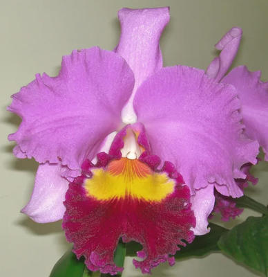 Blc. Taichung Beauty 'Rouge Beauty' - 1