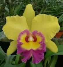 Blc. Young Kong 'ORCHIS' - 1