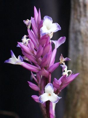 Tillandsia purpurea #1 - 1