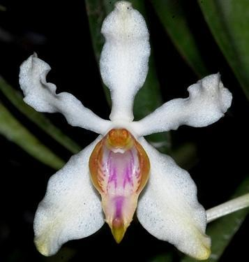 Vandopsis undulata - 1