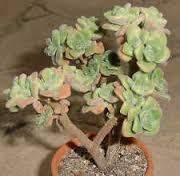 Aeonium sphatulatum