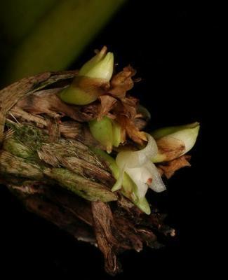 Agrostophyllum javanicum - 1