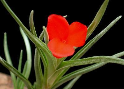 Tillandsia albertiana (menší) - 1