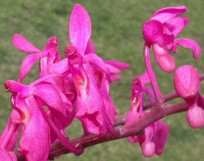 Ascoglossum calopterum - 1