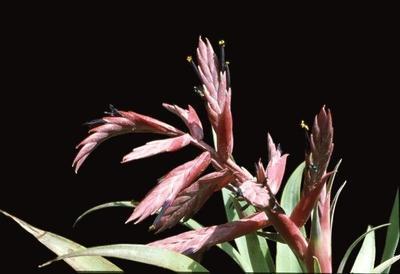 Tillandsia atroviolacea - 1