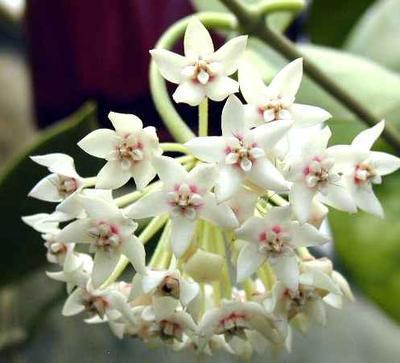 Hoya australis - 1