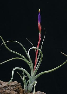 Tillandsia baileyi - 1