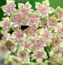 Hoya balaensis - 1/2
