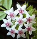 Hoya lanceolata ssp. bella - 1/2