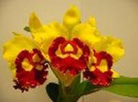 Blc. Chief Sunlight 'Yellow Ruby'