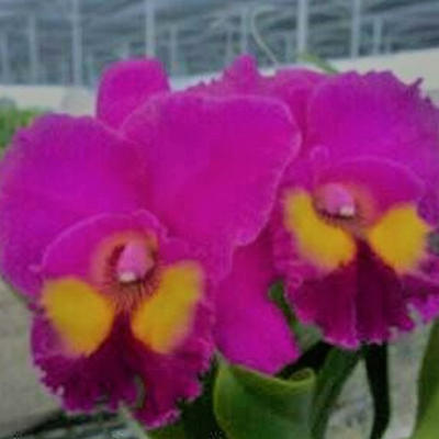 Blc. Vigour Red Grape 'ORCHIS' - 1