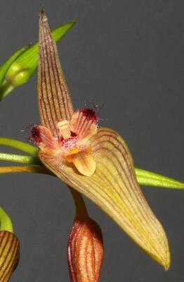 Bulbophyllum blepharistes - 1