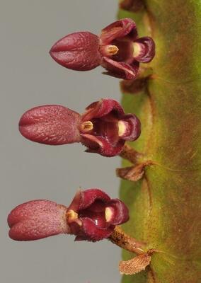 Bulbophyllum falcatum 'Red' - 1
