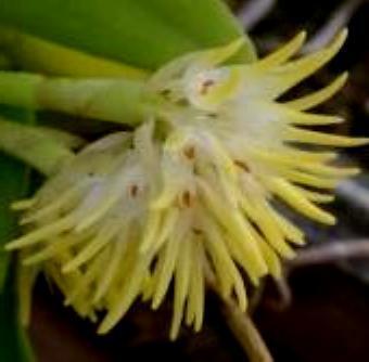 Bulbophyllum odoratissimum - 1