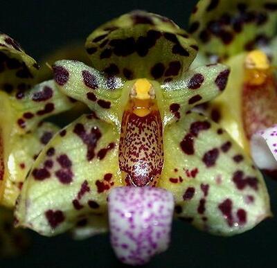 Bulbophyllum violaceolabellum - 1