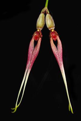 Bulbophyllum biflorum - 1