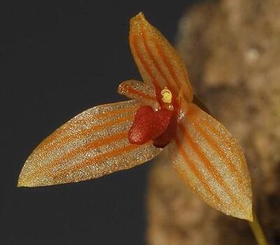 Bulbophyllum moniliforme - 1