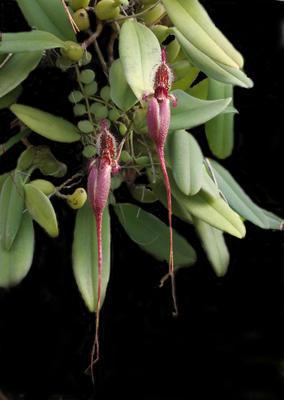 Bulbophyllum putidum - 1