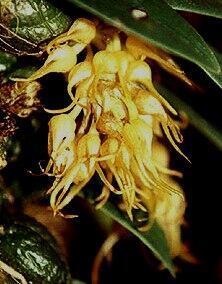 Bulbophyllum sutepense - 1