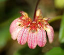 Bulbophyllum auratum (vyvázané) - 1/3