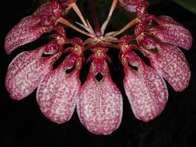 Bulbophyllum eberhardtii - 1
