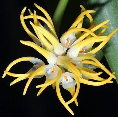 Bulbophyllum odoratissimum var. odoratissimum - 1