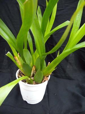 Orchidej pro začátečníky - Cambria/Oncidium a příbuzné rody - 1