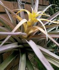 Tillandsia capitata 'Yellow Star' - 1