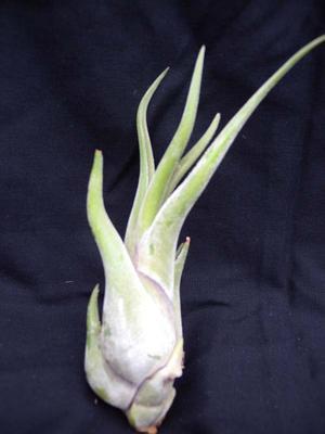 Tillandsia caput medusae (střední) - 1