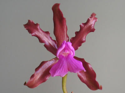 Cattleya elongata - 1