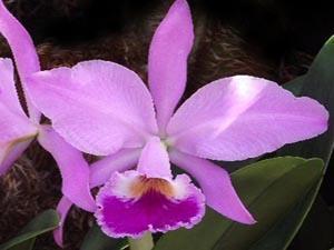 Cattleya jenmannii - 1