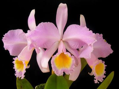 Cattleya schroederae 'Golem' - 1