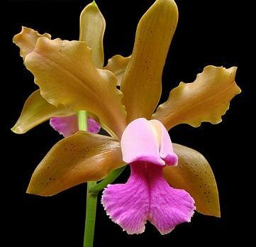 Cattleya tenuis - 1