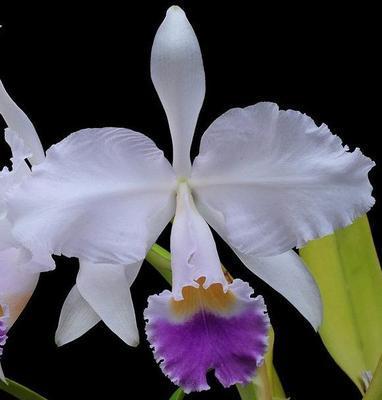 Cattleya trianae v. coerulea - 1
