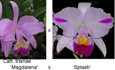 Cattleya trianae 'Magdalena' x 'Splash' - 1