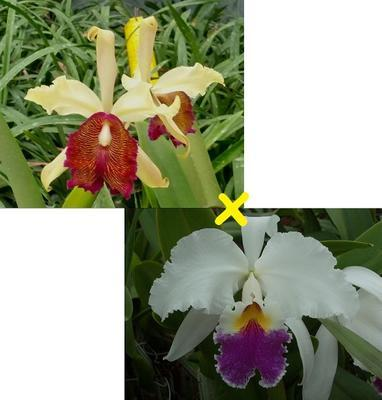 Cattleya Mrs. G.E. Baldwin - 1